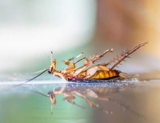 Cockroach Pest Control Port Arthur